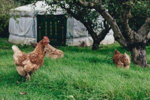 poule house 64