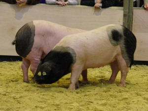 Porc_basque